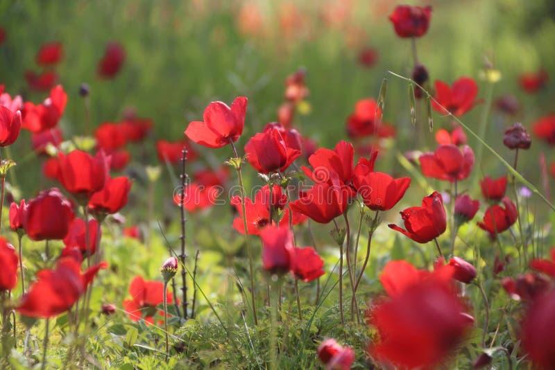 Wilde rote Anemonen blüht Blüte in einer Wiese stockbilder