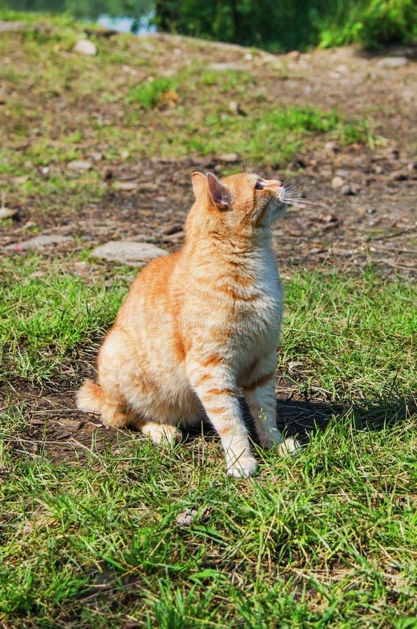Download Wilde rote Katze stockbild. Bild von outdoor, gras, traum - 96929837