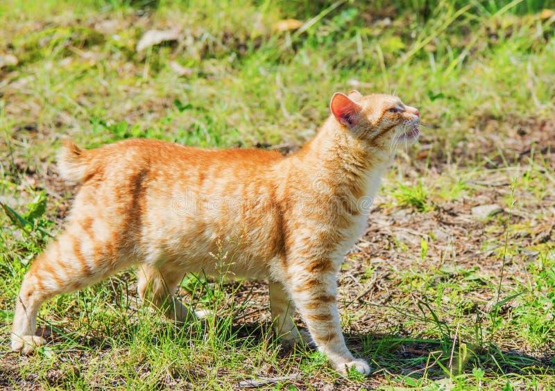 Download Wilde rote Katze stockfoto. Bild von farbe, schön, ingwer - 96929874