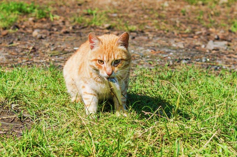Download Wilde rote Katze stockbild. Bild von glücklich, fische - 96929887