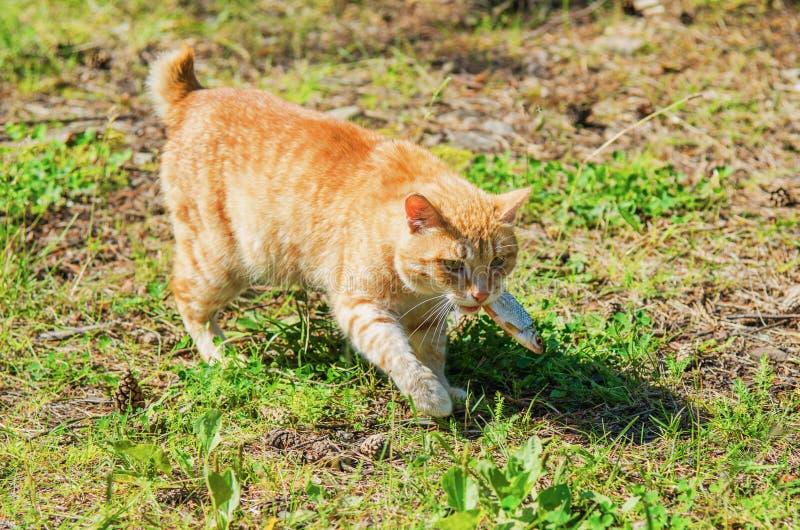 Download Wilde rote Katze stockbild. Bild von brut, nahaufnahme - 96929903
