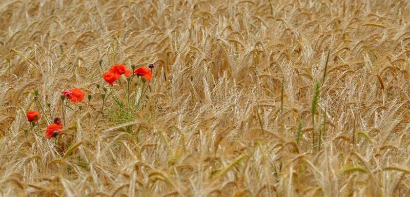 Wilde rote Mohnblume blüht auf einem Weizengebiet lizenzfreie stockfotografie