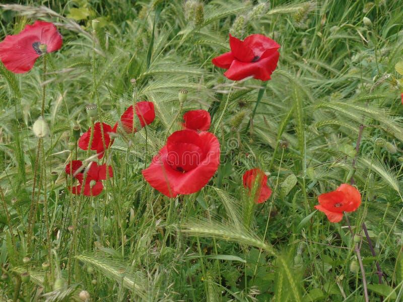 Wilde rote Mohnblumen auf einem Gebiet lizenzfreies stockfoto
