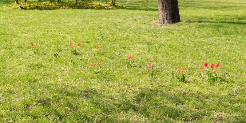 Wilde rote Tulpen auf Sunny Green Meadow stockfotos