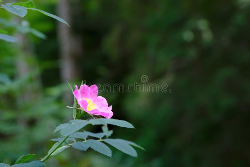 Wilde Roze Bloem in Zwarte Forrest van Duitsland royalty-vrije stock fotografie