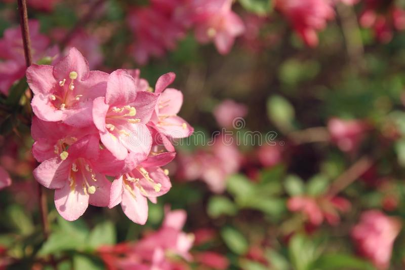 Wilde roze bloemen royalty-vrije stock afbeeldingen