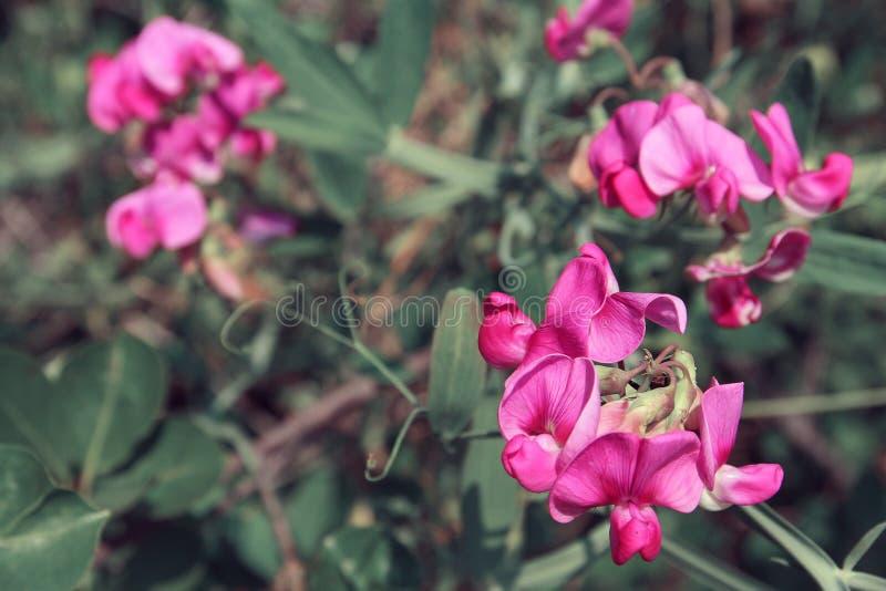 Wilde roze bloemen in de herfst stock fotografie