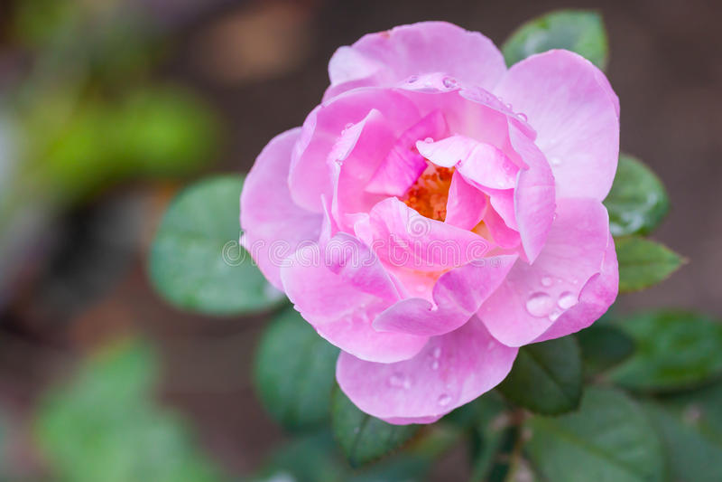 Wilde roze nam toe stock foto