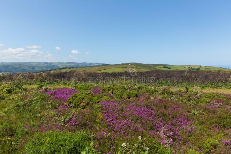 Wilde roze van de Heuvelsomerset van het bloemennoorden het plattelandsscène dichtbij Mijningang het UK royalty-vrije stock foto
