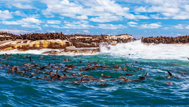 Wilde südafrikanische Dichtungen lizenzfreie stockfotografie