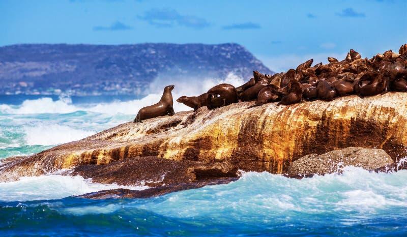 Wilde südafrikanische Dichtungen lizenzfreies stockbild