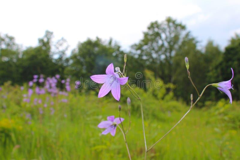 Wilde schöne Blume im Wiesengras, medizinische Kräuter, Medizin, violette Glocken lizenzfreie stockfotografie