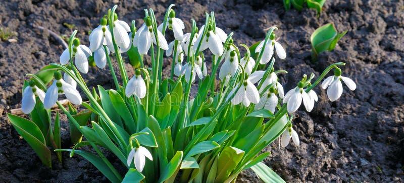 Wilde Schneeglöckchenblumen auf der Wiese lizenzfreie stockfotos