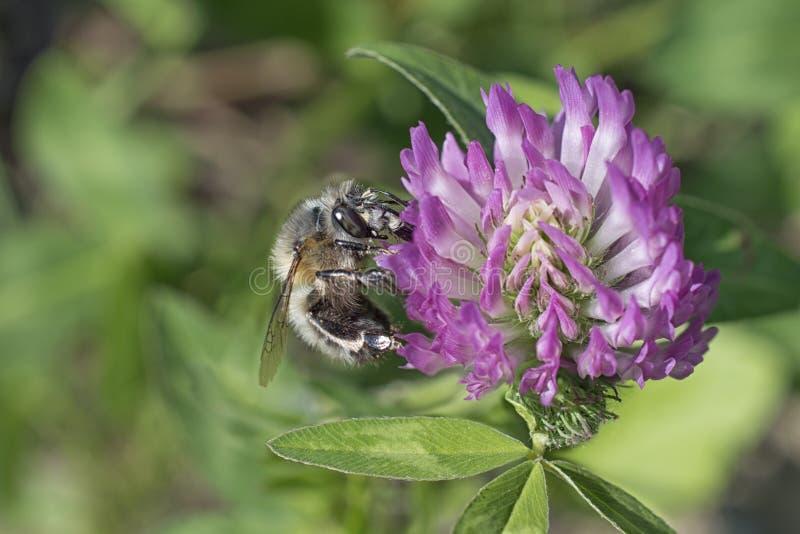 Wilde schwarze Biene auf Kleeblume stockfoto