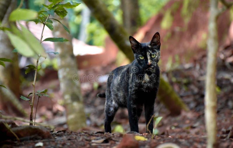 Wilde schwarze Cat Aiming ein anderes Geschöpf lizenzfreies stockbild