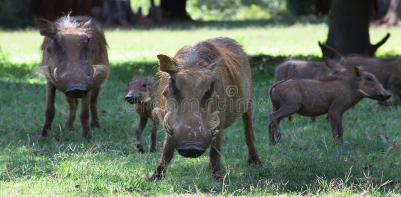 Wilde Schweine stockfotos