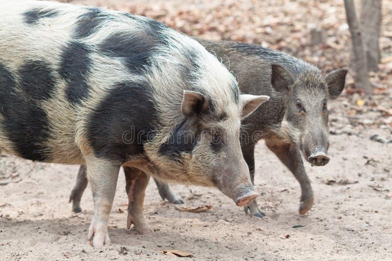 Wilde Schweine lizenzfreie stockbilder