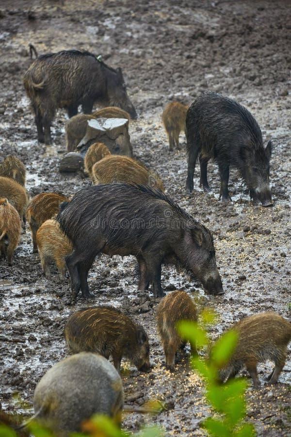 Wilde Schweinfrau und -ferkel im Schlamm stockfoto
