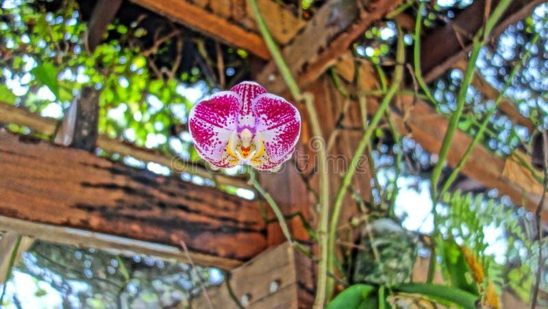 Wilde semenyih orkid stock foto