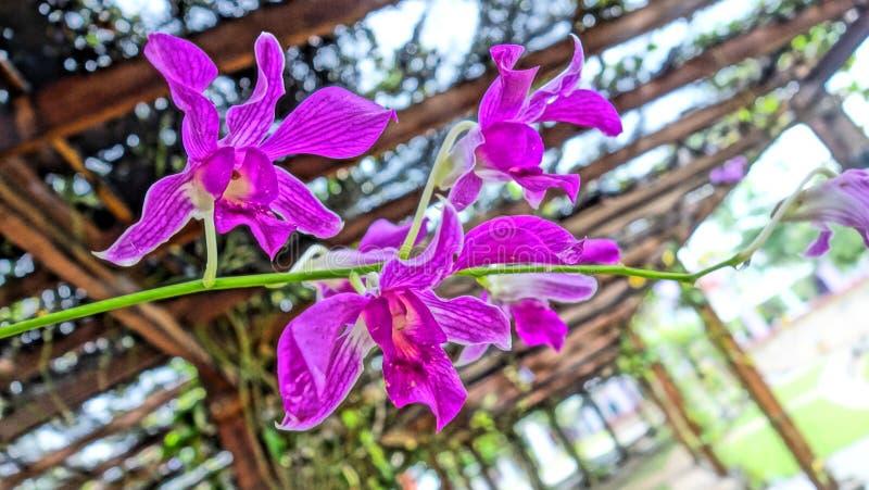 Wilde semenyih orkid royalty-vrije stock afbeelding