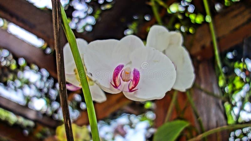 Wilde semenyih orkid royalty-vrije stock afbeeldingen