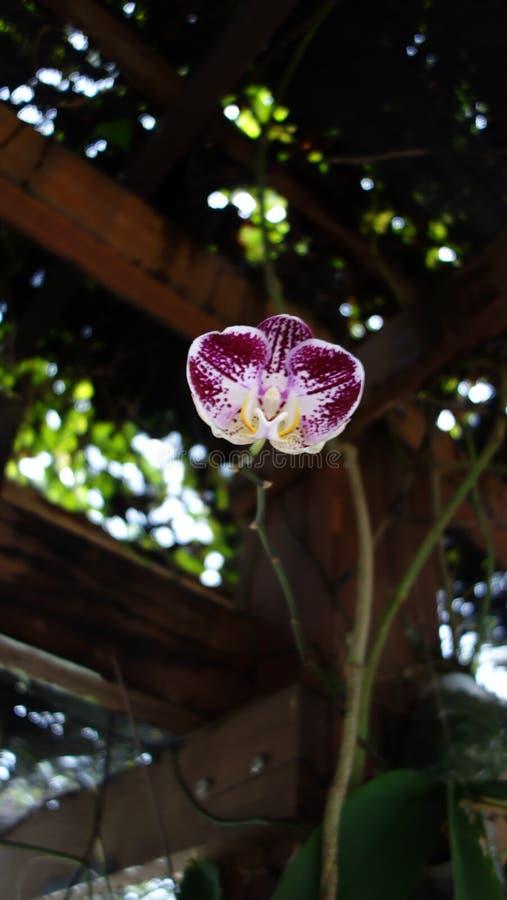 Wilde semenyih orkid royalty-vrije stock foto