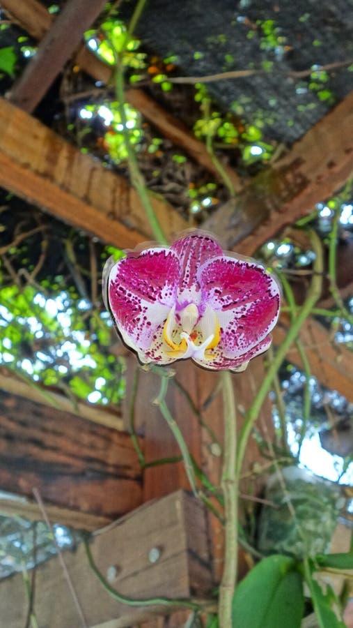 Wilde semenyih orkid royalty-vrije stock fotografie