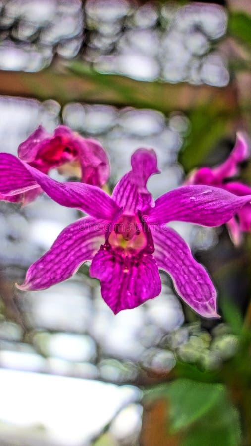 Wilde semenyih orkid stock foto's