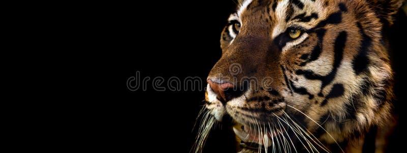 Wilde Siberische tijger op aard royalty-vrije stock foto's