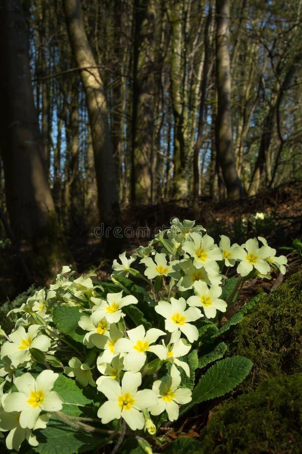 Wilde Sleutelbloemen (vulgaris Primula) in het bos plaatsen stock fotografie