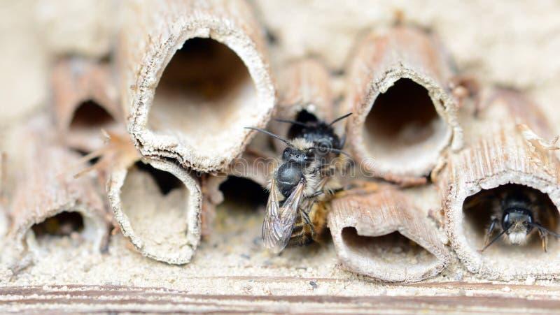 Wilde solitaire bijen die op insecthotel bij de lente koppelen royalty-vrije stock fotografie