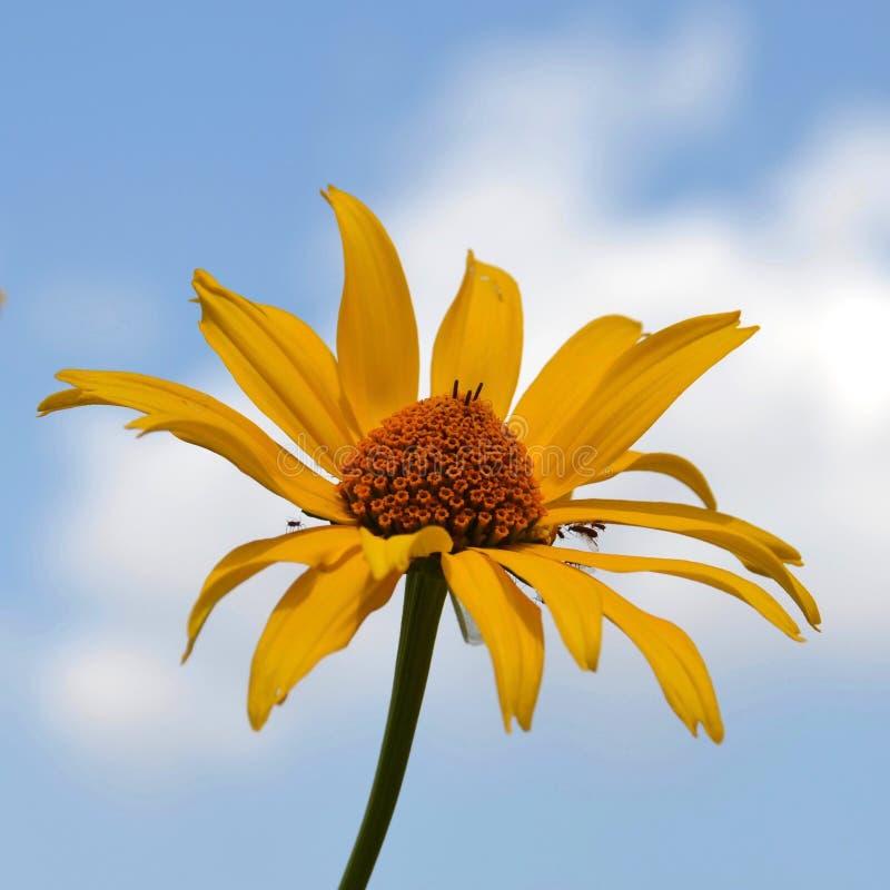 Wilde Sonnenblume stockbilder