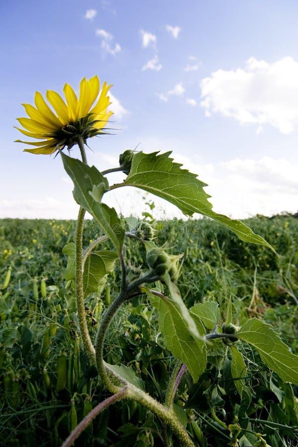 Wilde Sonnenblume lizenzfreies stockbild