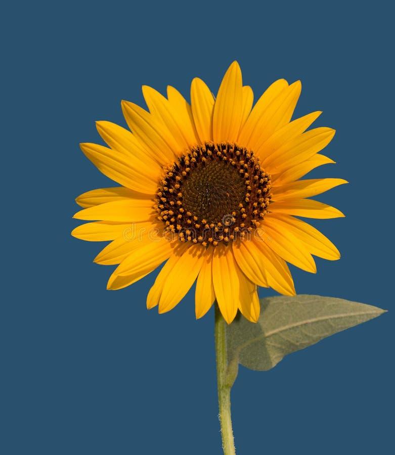 Wilde Sonnenblume gegen klaren blauen Himmel stockbilder