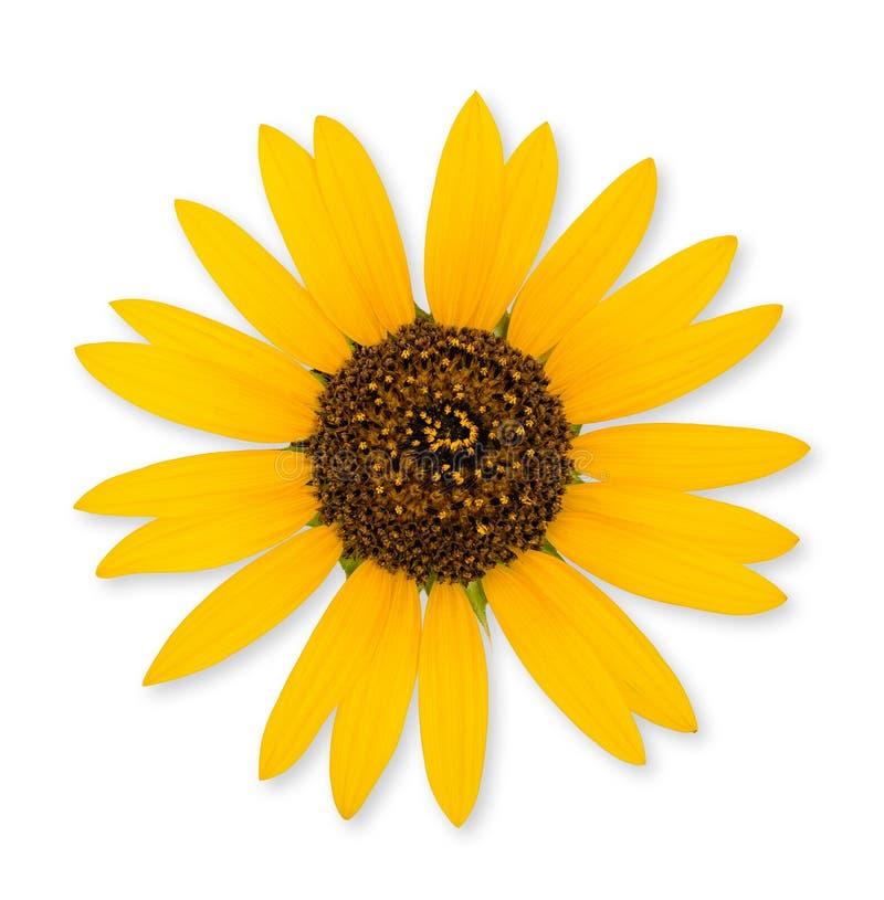 Wilde Sonnenblume lokalisiert stockfotografie