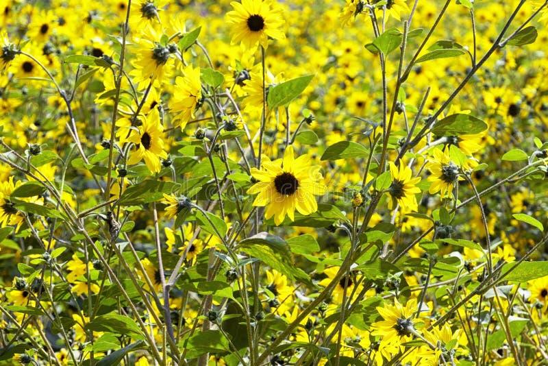 Wilde Sonnenblumen an einem Sommertag stockbild