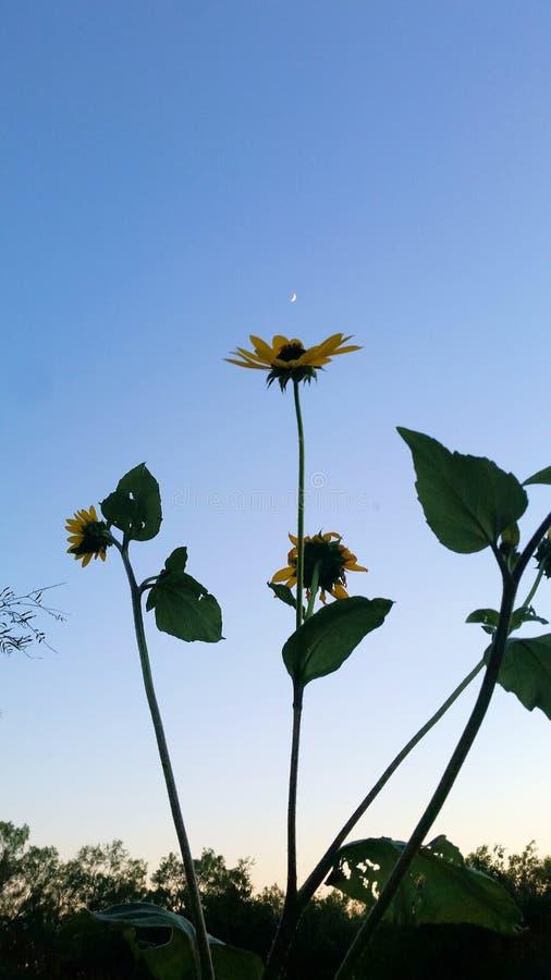 Wilde Sonnenblumen gegen Nachmittagshimmel mit sichelförmigem Mond stockbild
