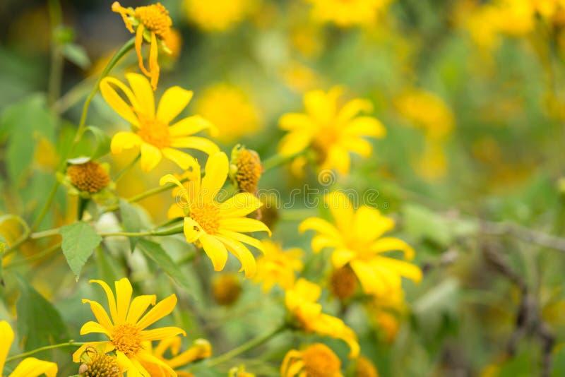 Wilde Sonnenblumen oder Mexiko-Sonnenblume stockbild