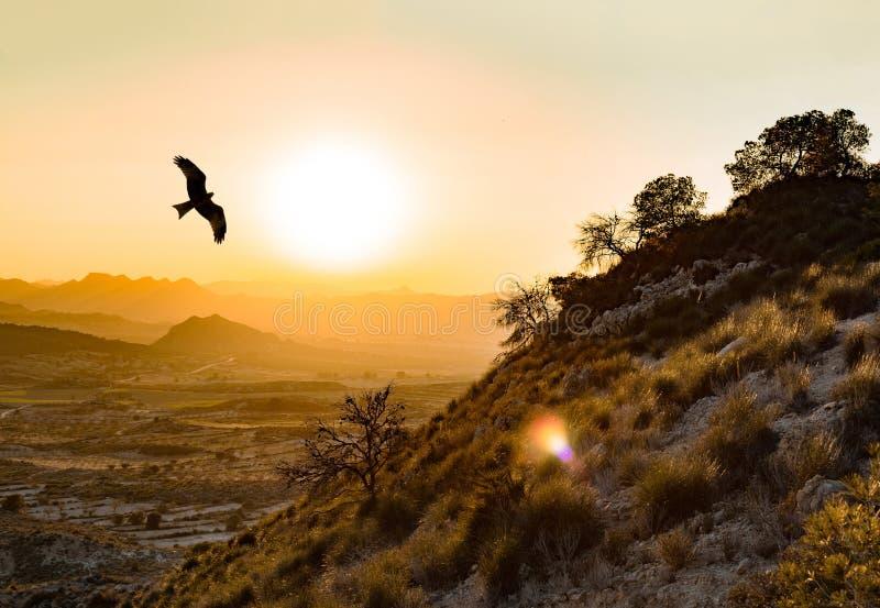 Wilde Spaanse keizerarend vliegt in de Montes de Toledo op het Iberisch schiereiland bij zonsondergang Aquila adalberti of Iberia stock afbeelding
