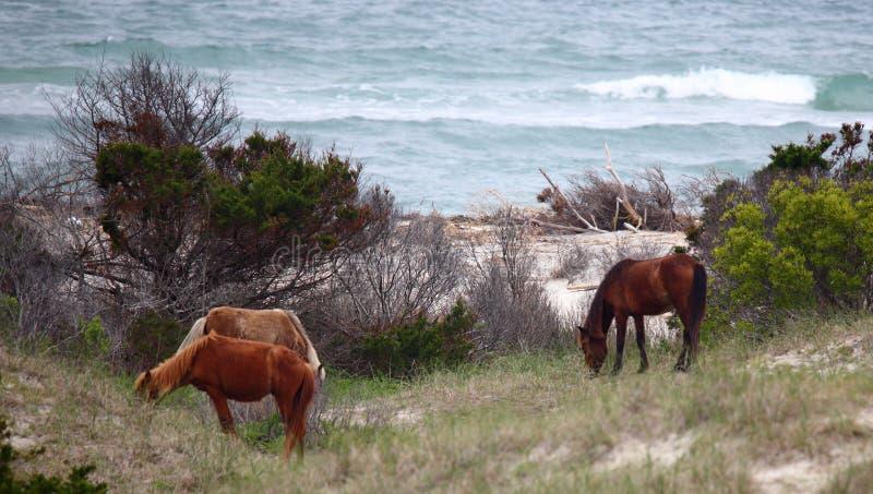Wilde spanische Mustangs von Shackleford-Banken stockfotografie