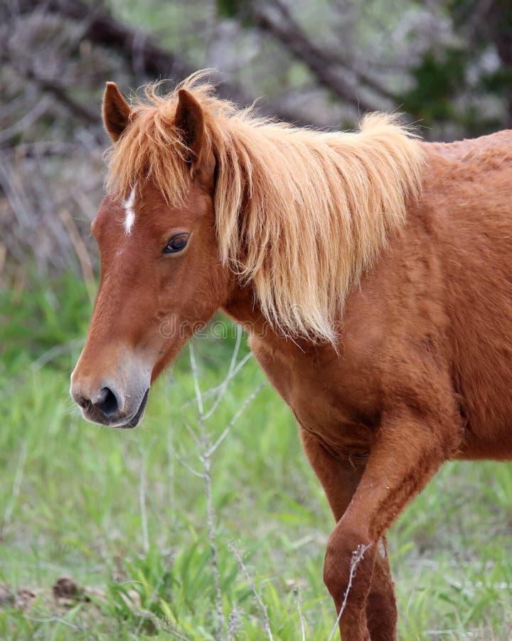 Wilde spanische Mustangs von Shackleford-Banken stockfotos