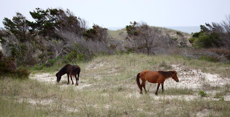 Wilde spanische Mustangs von Shackleford-Banken lizenzfreie stockfotos