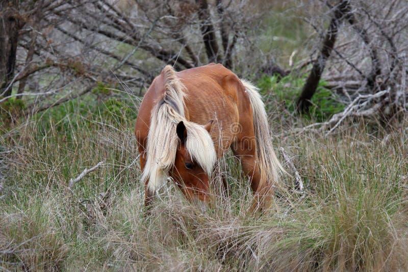 Wilde spanische Mustangs von Shackleford-Banken stockbilder