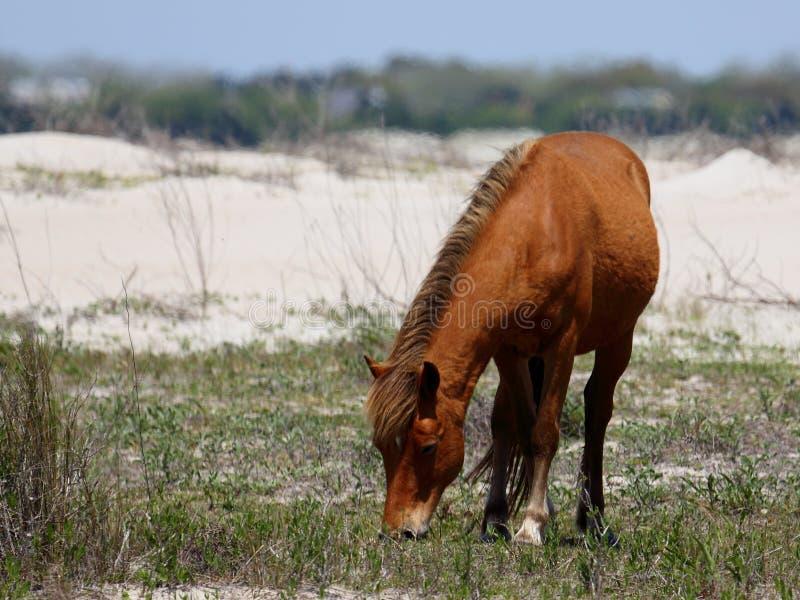 Wilde spanische Mustangs von Shackleford hat North Carolina ein Bankkonto stockfotos