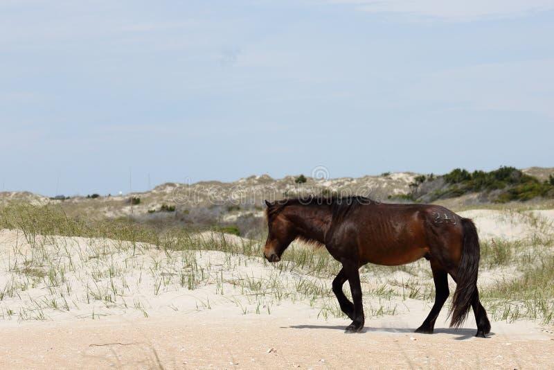 Wilde spanische Mustangs von Shackleford hat North Carolina ein Bankkonto stockbilder