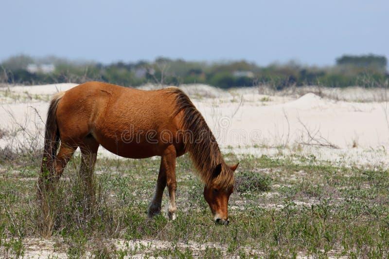 Wilde spanische Mustangs von Shackleford hat North Carolina ein Bankkonto stockfotografie