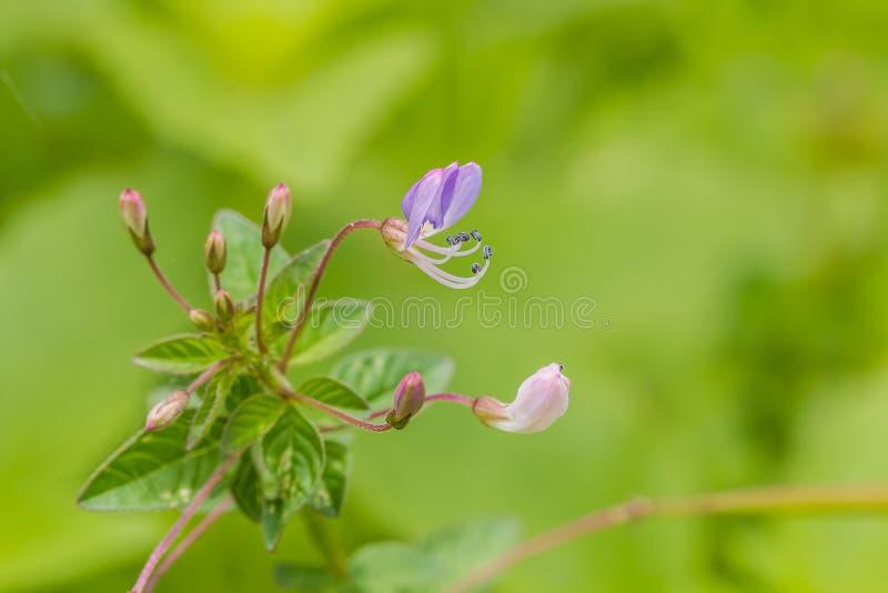 Wilde Spinnenblume lizenzfreies stockfoto