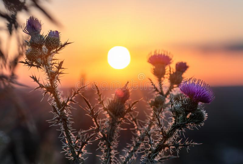 Wilde, Stekelige distelbloem die tijdens zonsopgang bloeien stock afbeelding