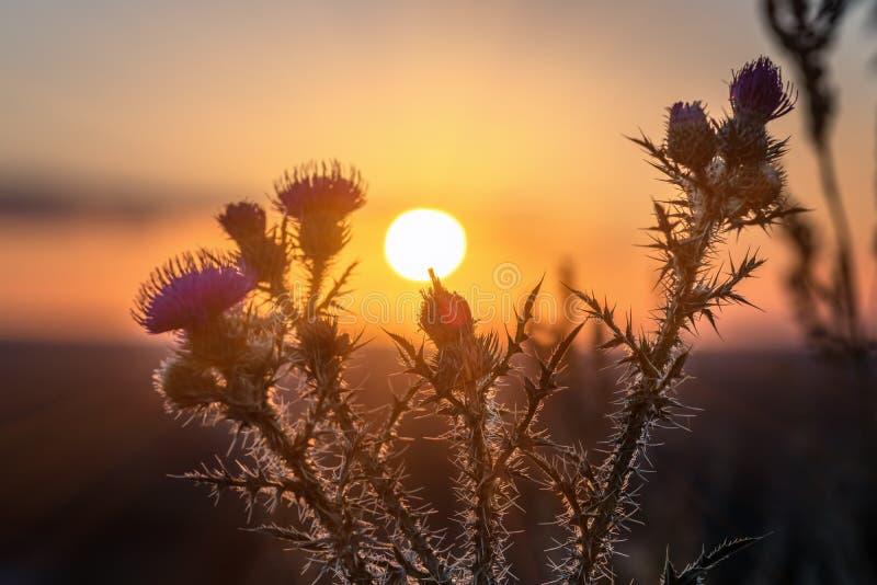 Wilde, Stekelige distelbloem die tijdens zonsopgang bloeien royalty-vrije stock afbeelding