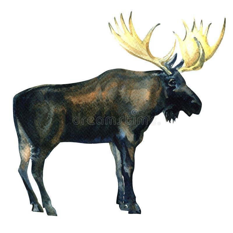 Wilde Stierenamerikaanse elanden, Europees-Aziatische Elanden, geïsoleerde Alces alces, waterverfillustratie royalty-vrije illustratie